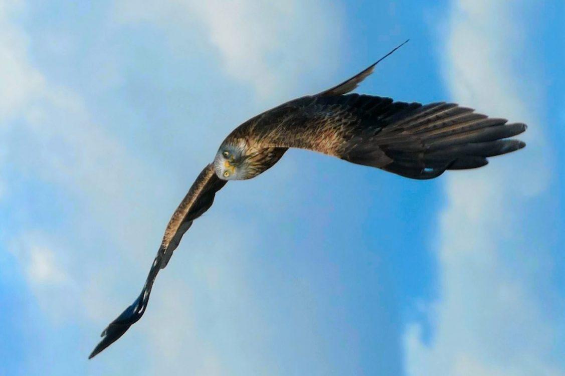 Red Kites – soaring to success